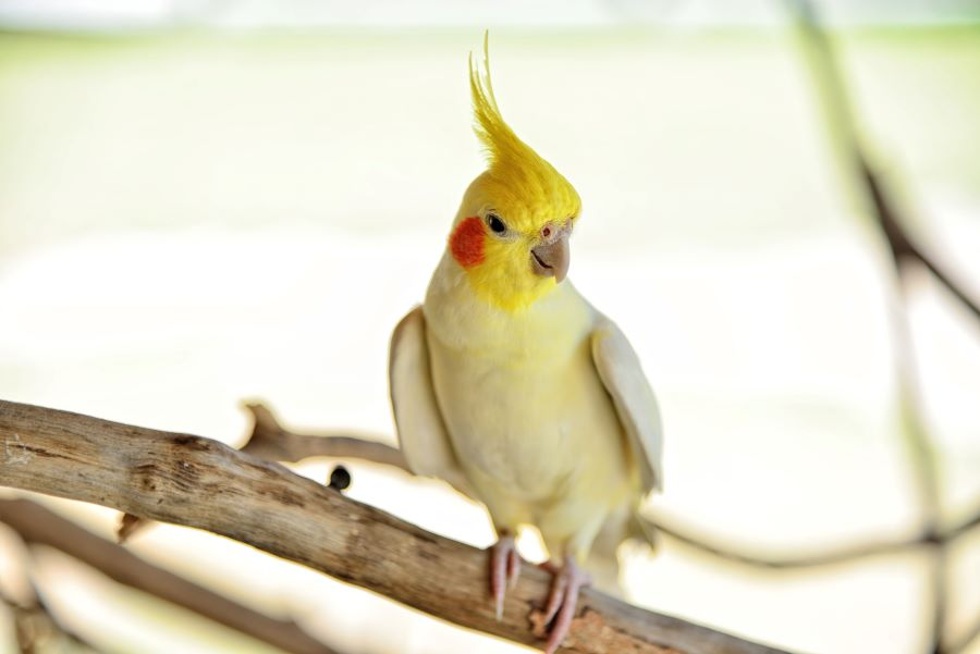 A cockatiel on a log in a cage
