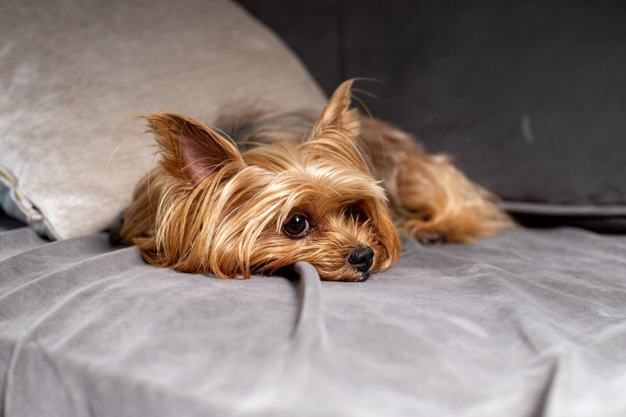 Brown yorkshire terrier lying on a bed