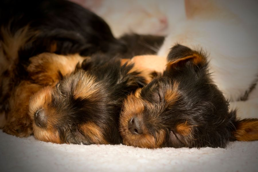 Two sleeping yorkshire terrier puppies