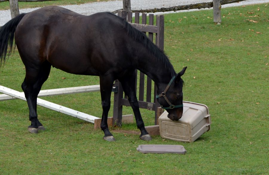 Bored horse playing with a bucket