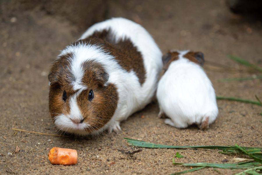Guinea pig smelling a carrot on the ground