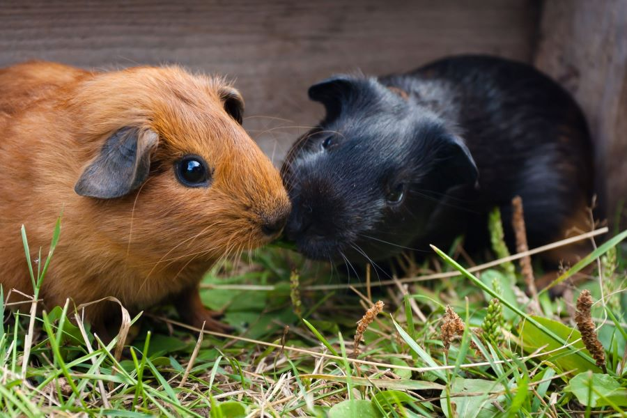 Two male guinea pigs together in a hutch