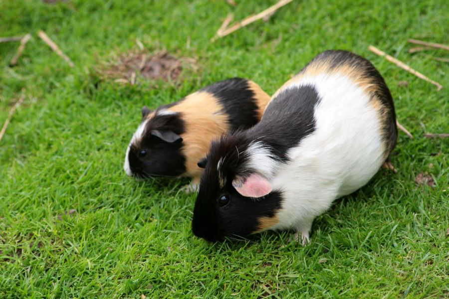 Two guinea pigs on the grass