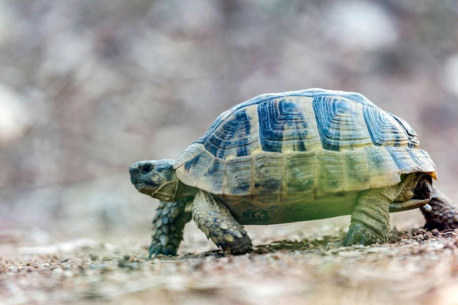 A tortoise in close up walking