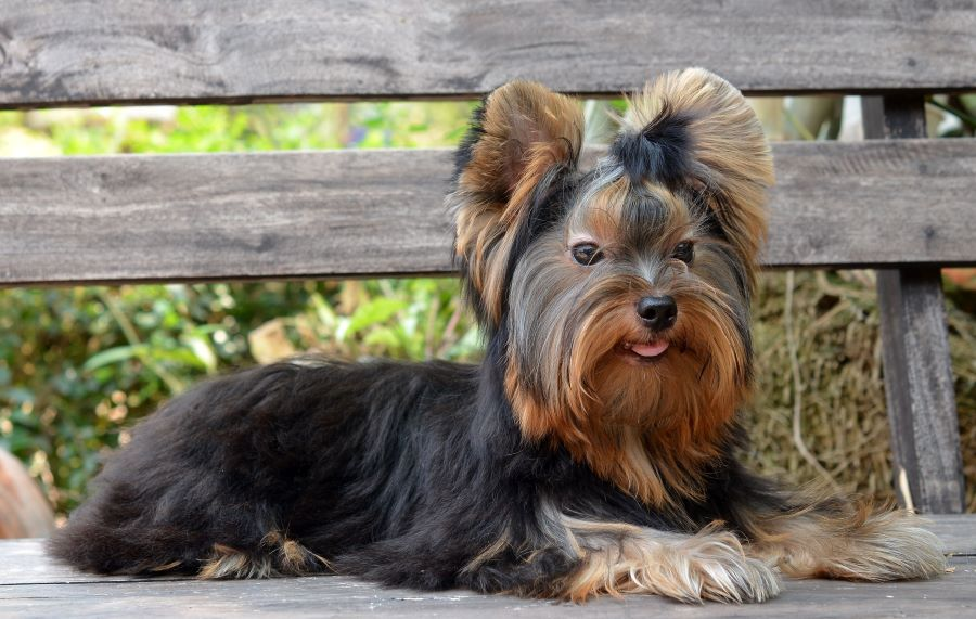 Yorkshire terrier sitting on a bench