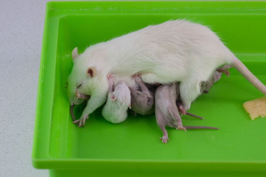 Mother rat with baby rats drinking milk from her
