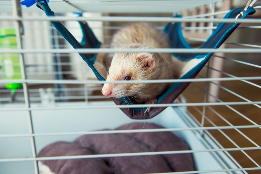 Beige ferret in a cage
