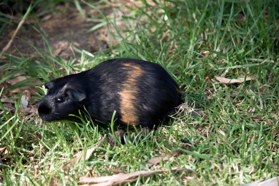 Black and brown guinea pig on grass