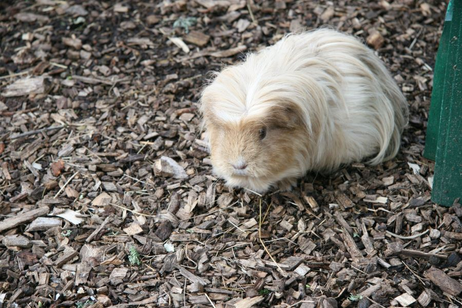 Fluffy white and brown guinea pig