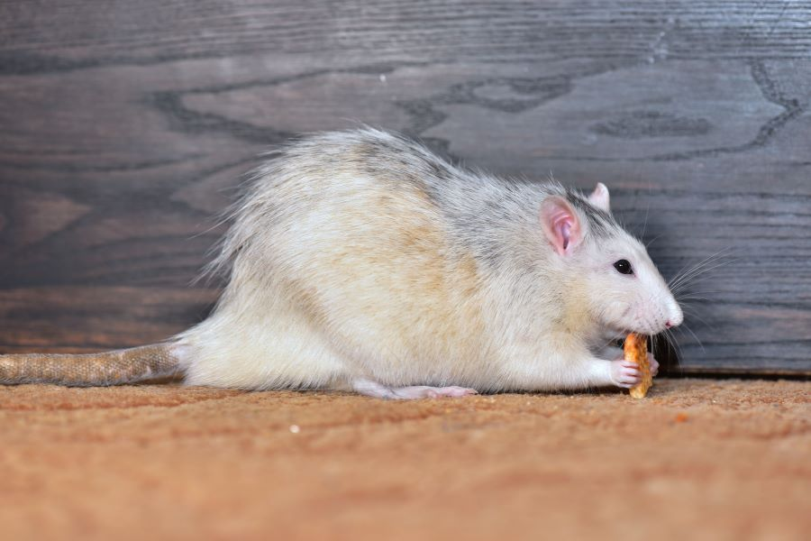 A rat with a small biscuit on carpet next to wall