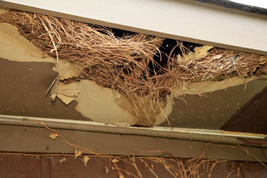 A rat's nest in the ceiling