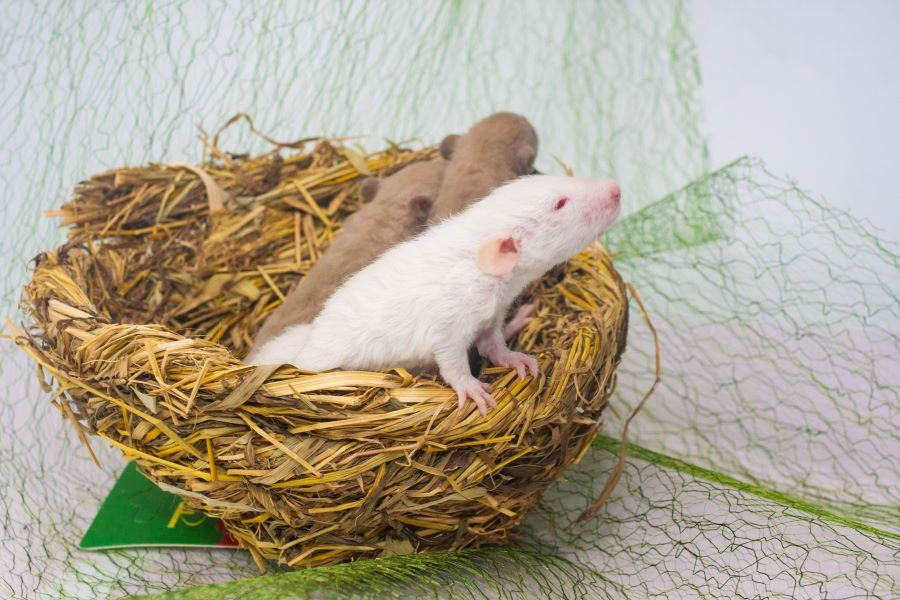 Three young rats in a rat's nest