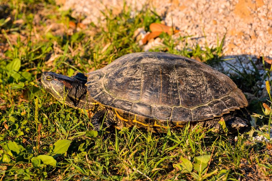 Side-on profile of a domestic tortoise